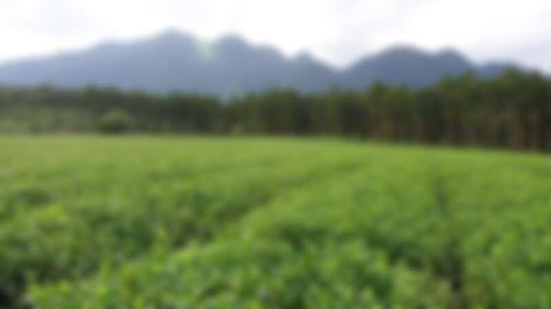 日本的自然世界遺產【屋久島】有生命的循環與再生之島的美譽。 黛珂採集在這樣環境下所栽培的【紅富貴】茶葉精華。