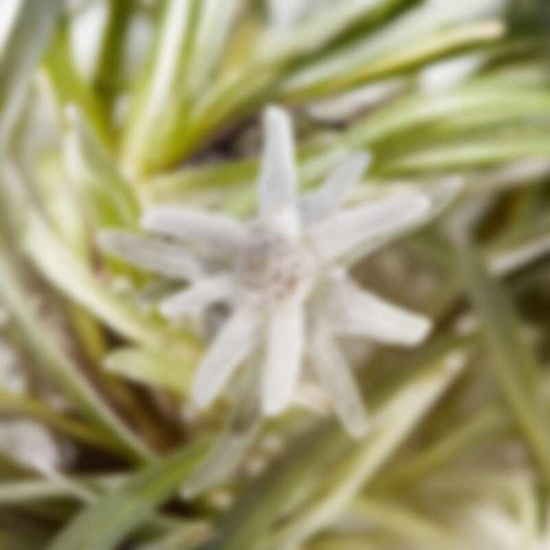 雪絨花生長於瑞士阿爾卑斯雪山之巔,在凜冽寒風、極強紫外線輻射、極寒霜凍等極端生長環境下依然燦爛綻放。