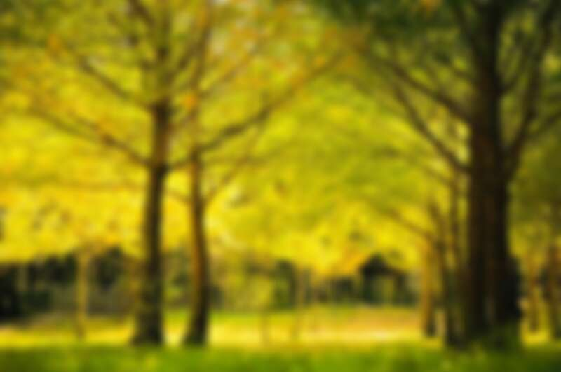 武陵農場中的銀杏林
