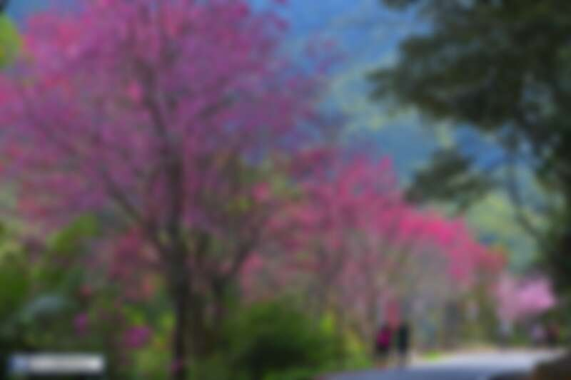 Photo/臉書粉絲專頁「漫步在雲端的阿里山」授權提供