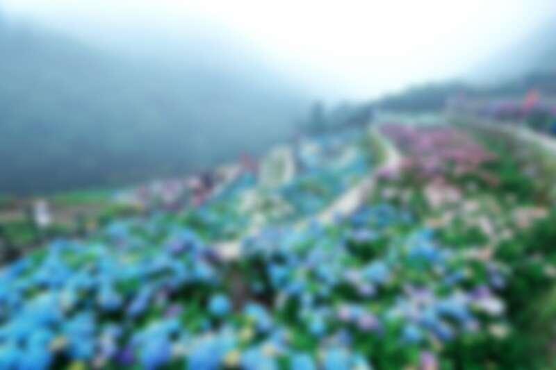 繡球花季(大梯田花卉生態農園)。圖片來源:海芋季、繡球花季FB粉專