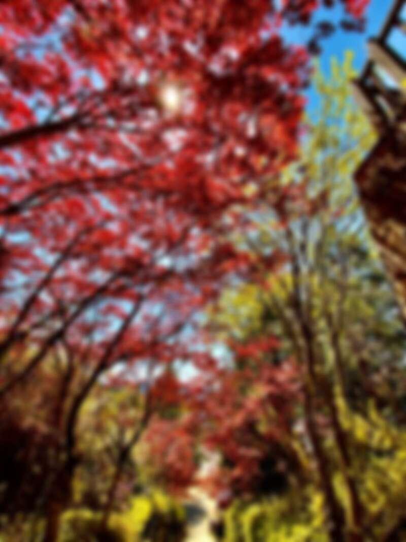 火紅的「紫葉槭」與一旁的綠樹成了強烈對比