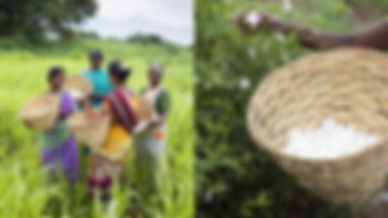 BVLGARI為家庭農場展開全新茉莉培育模式