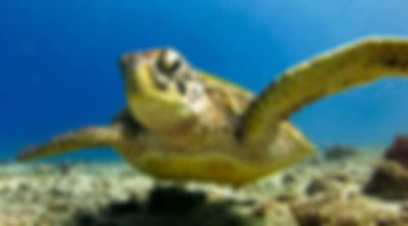 與海龜一起在小琉球的蔚藍海域中自在悠游。Source: KLOOK