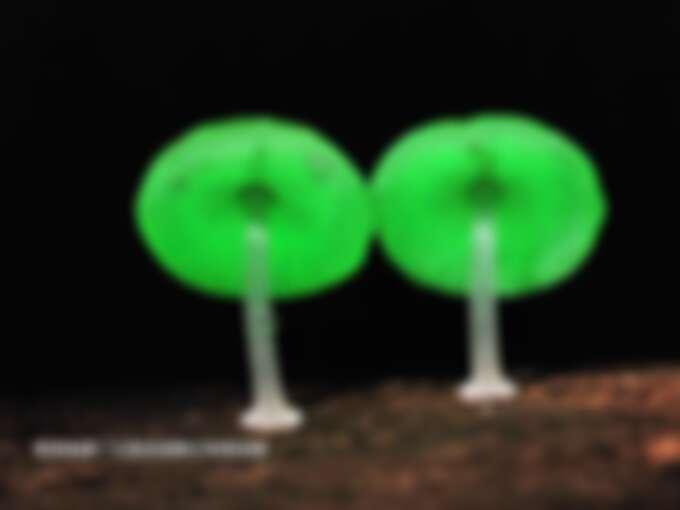 有「鬼火」之稱的螢光蕈。Source: KLOOK