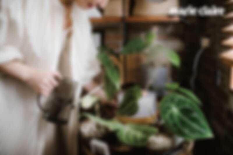 圓基花燭:家裡有些原生地在高地雨林的植物,因為喜歡空氣溼度70%以上,開冷氣後會再啟動加溼器,營造適合它們生長的環境;而圓基花燭是最近市場討論度相當高的品種之一,因應不同的混合品種會有不同強度光澤的葉面,葉面造型也有些微差異,相當討喜。