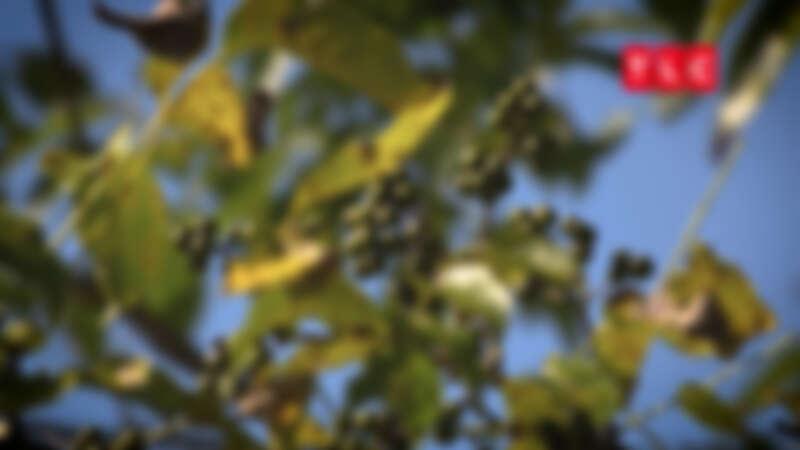 黃柏是一種帶有柑橘類風味與胡椒苦味的特別水果,在愛奴料理中有神聖地位。