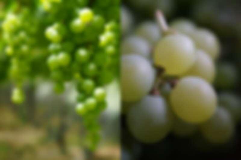 此葡萄品種為木杉。(攝影/林裕森)