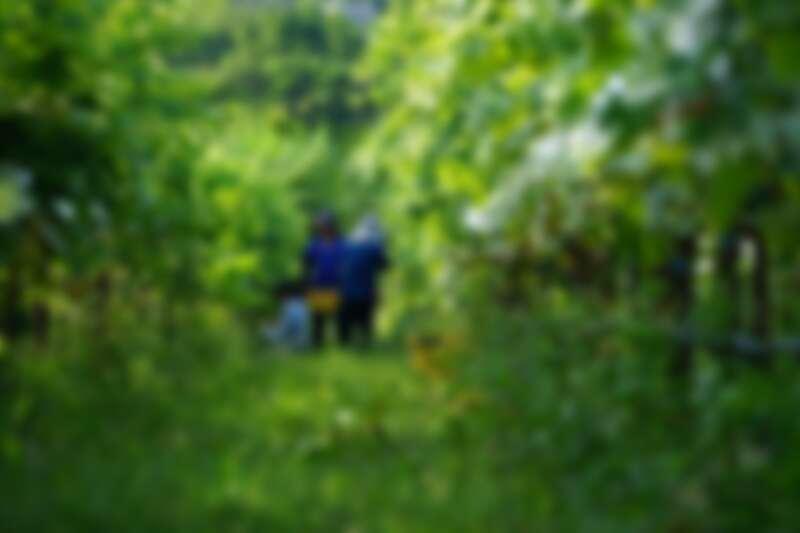 原料使用埔里莊園的荖藤金香葡萄。(攝影/林裕森)