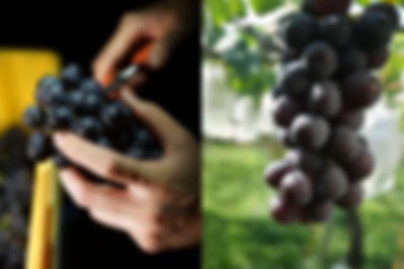 以61%黑后,32%巨峰,5%台中四號,2%蜜紅釀製。(攝影/林裕森)