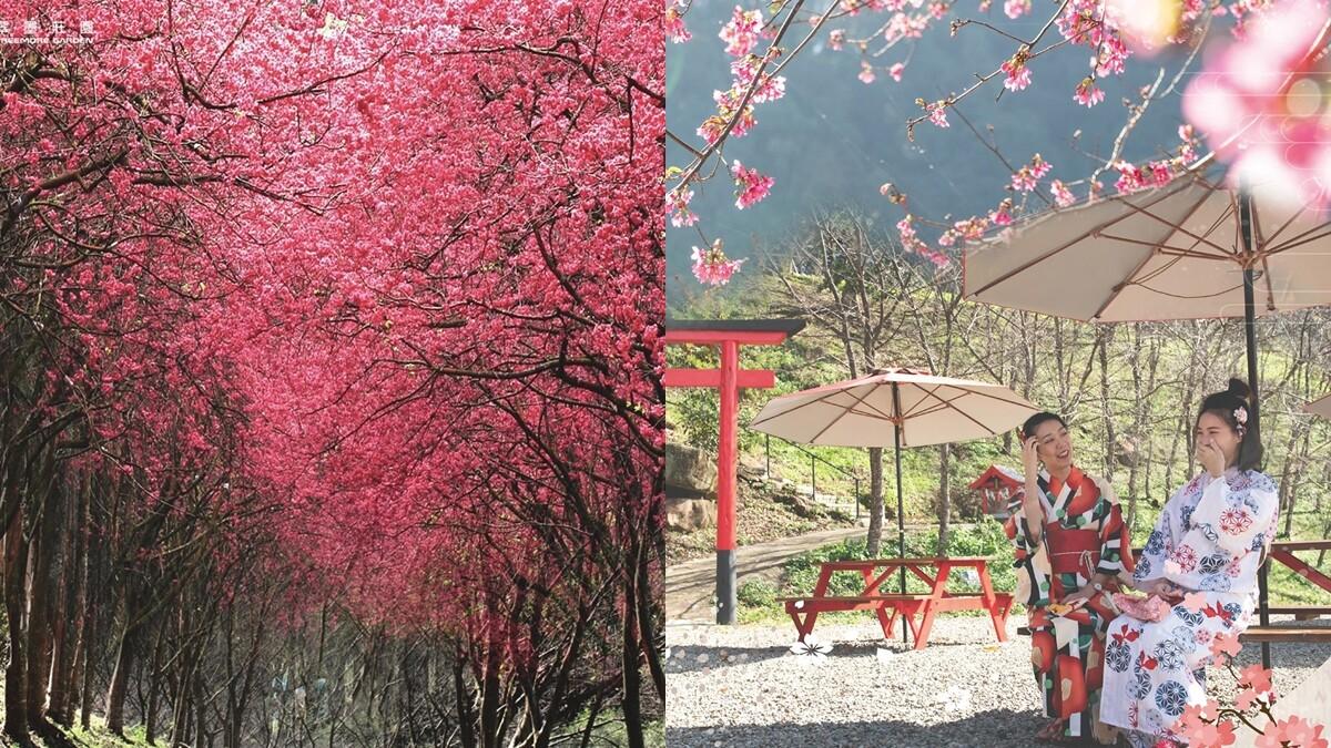「桃園最美山林莊園」翠墨莊園迎浪漫櫻花季!上千棵櫻花樹成粉紅天堂,還能換穿和服當一回櫻花妹