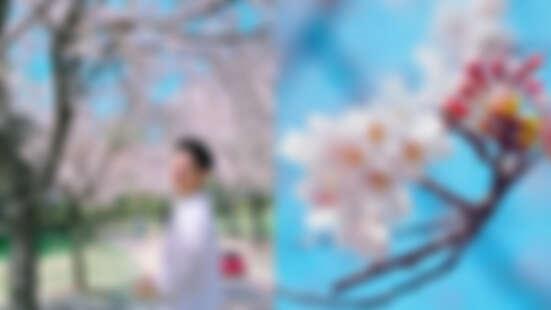 韓國「王櫻花」正盛開!不管是白天看、晚上看,隨隨便便拍都是美照一張