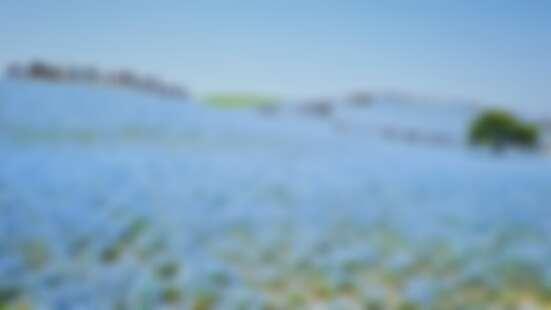 【MiKU玩日本】櫻花季後接棒的是450萬株仙藍色粉蝶花海,來去茨城縣國營常陸海濱公園一日遊
