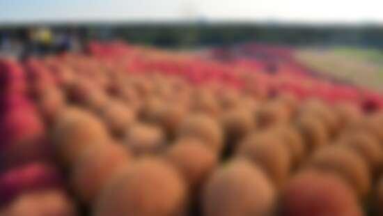 【MiKU玩日本】秋天不只賞楓!初秋到日本就該看「掃帚草」,3萬株圓滾滾波波草太療癒,鄰近還有海上咖啡廳Sea BiRDS CAFE