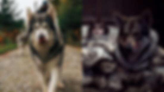 《冰與火之歌》飾演冰原狼狗狗去世!10歲紐特犬奧丁因癌症和病魔搏鬥,睡夢中變成天使