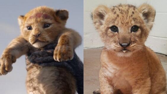 《獅子王》「辛巴本尊」長這樣!無辜水汪汪大眼睛、伸出絨毛爪子模樣太可愛,全球貓奴心臟爆擊啦