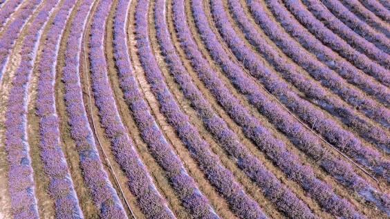 「2020桃園仙草花節」夢幻來襲!5.8公頃紫色花毯打造台版普羅旺斯花海,還有六大主題裝置超好拍