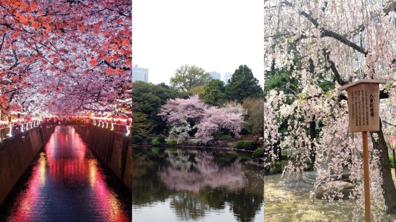 【MiKU玩日本】日本櫻花季來了!關東、關西的4個賞櫻必去打卡景點