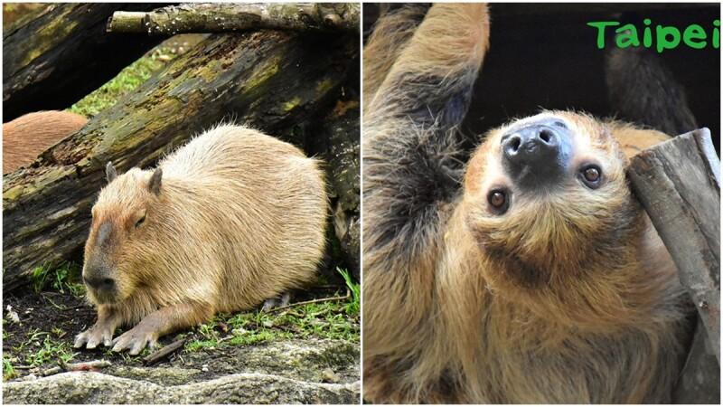木柵動物園終於有超可愛水豚、樹獺了!歷經13年、斥資3.9億打造的「熱帶雨林室內館」正式開幕