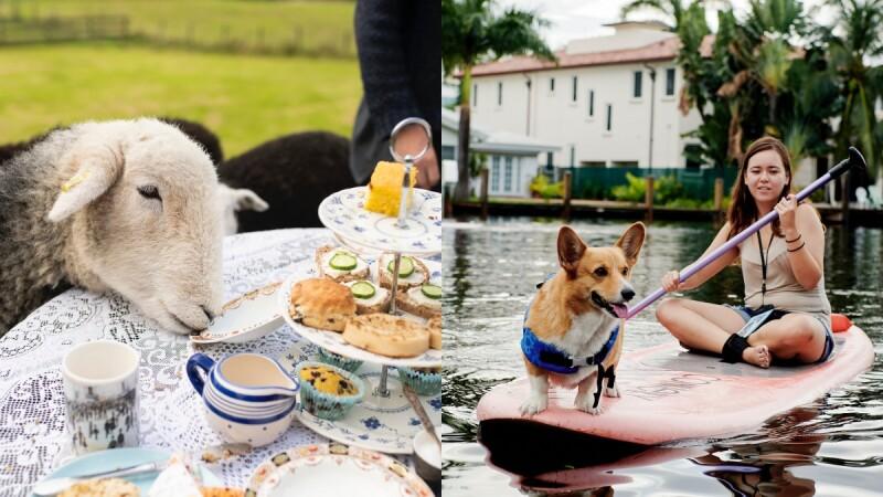 最萌的旅行在這裡!Airbnb全新「動物體驗系列」登場,快跟柯基一起衝浪、攜手綿羊共進下午茶