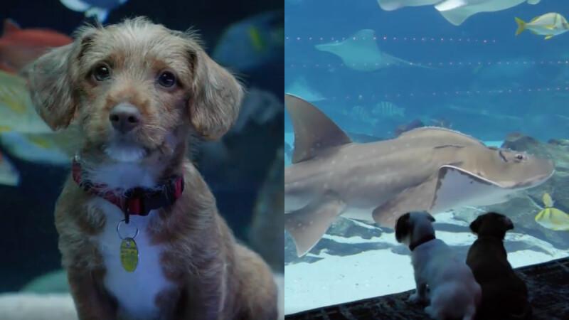 因新冠肺炎疫情休館!兩隻小萌犬嘉賓水族館一日遊,專心盯鯊魚畫面太療癒
