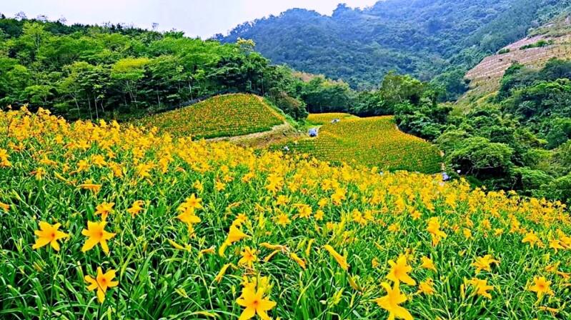 金針花來了!台東最新金針花秘境「知本天山農場」現在就是最美花期,一整片黃橙色花海超療癒