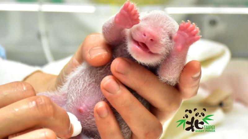 熊貓寶寶超萌照片曝光!臺北市立動物園大貓熊「圓圓」生下幼仔,粉嫩臉蛋太可愛