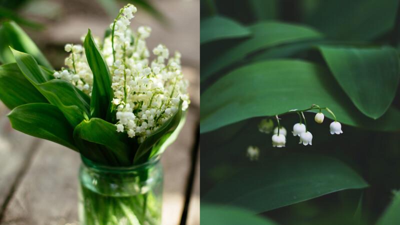 代表純潔幸福的鈴蘭花-英國凱特王妃御用捧花,花語為「幸福歸來」