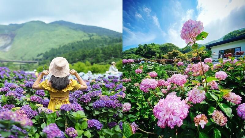 2021竹子湖繡球花季接棒!大面積繽紛花園滿開超壯觀,14處賞花農園、最佳觀賞期、一日遊行程資訊總整理