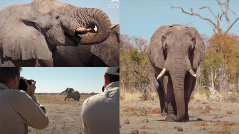 大象要去哪兒?《與象同行》見證世界規模最大的象群遷徙全紀錄,2040年非洲象可能面臨絕種消失