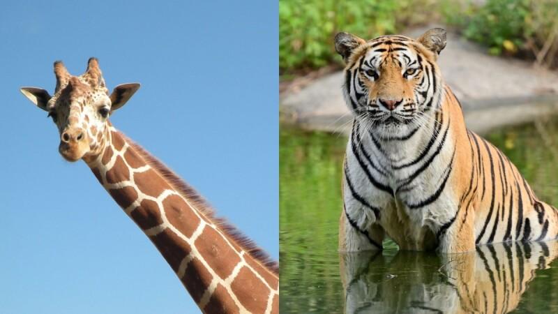 動物控請鎖定!六福村「動物園實境解謎」單元上線,近距離看孟加拉虎、長頸鹿超紓壓,還能即時問答長知識