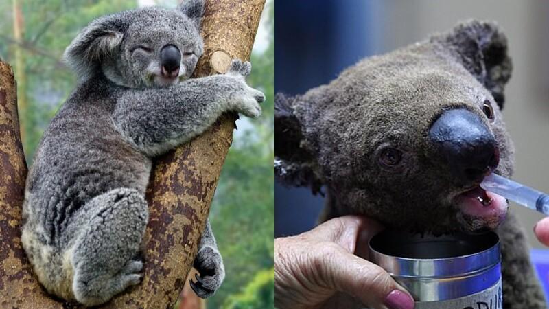澳洲大火無尾熊面臨生存危機!領養無尾熊、捐款方式在這,一起幫助這些無辜的小生命