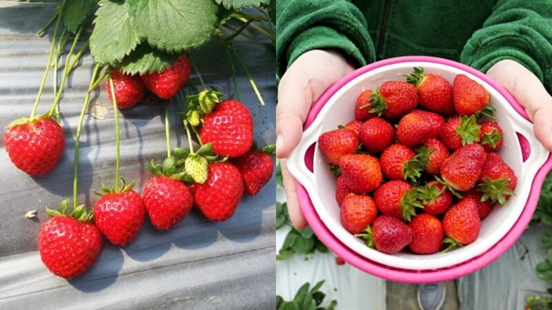 都市甜蜜一日遊!「2020內湖草莓季」即日起登場,飽滿果實等採收,還能DIY披薩與果醬