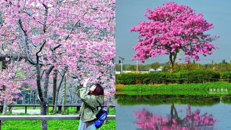 2020阿里山櫻花季絕美登場!6大賞櫻景點、粉嫩「櫻王」霸氣綻放、交通資訊全在這一篇