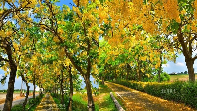 隨風落下黃金雨美呆了!嘉義「蒜頭自行車道」正開滿阿勃勒花海,整條道路染成金黃色,完全是夏季最美風景