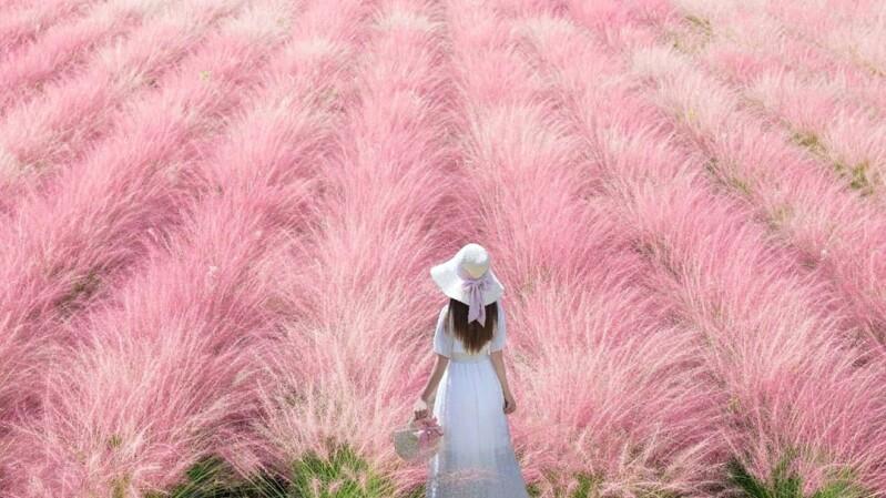 不用飛韓國,南投就有粉紅棉花糖秘境!「粉芒園」4200坪粉黛亂子草花海正盛開,還有浪漫夜光場美呆