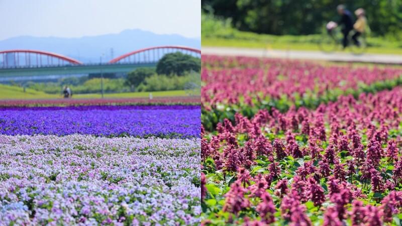 超浪漫「紫爆」花海來了!台北市古亭河濱13萬盆香堇菜、薰衣草盛開,鋪上春天繽紛地毯,搭公車、捷運就能到
